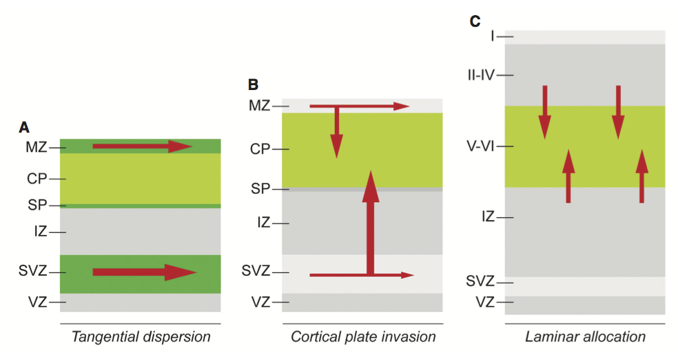 tangential and cortical plate invasion