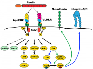 800px-dab1_signaling_pathway4