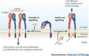 integrin-inside-out-signaling_nrm2871-i2